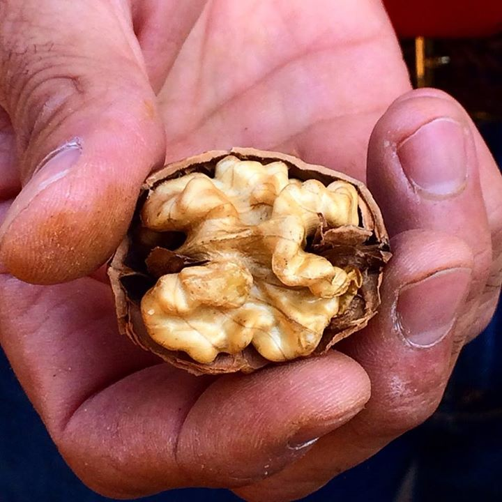 a man's hand holding a fresh walnut in shell