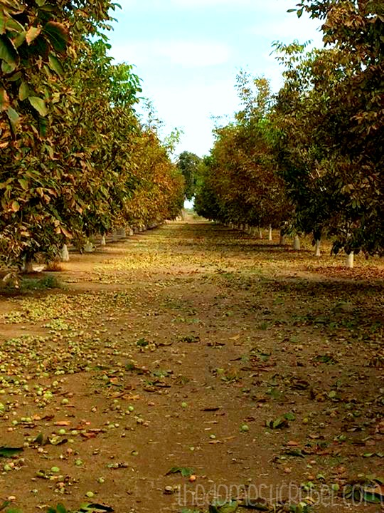 photo of a walnut grove in california