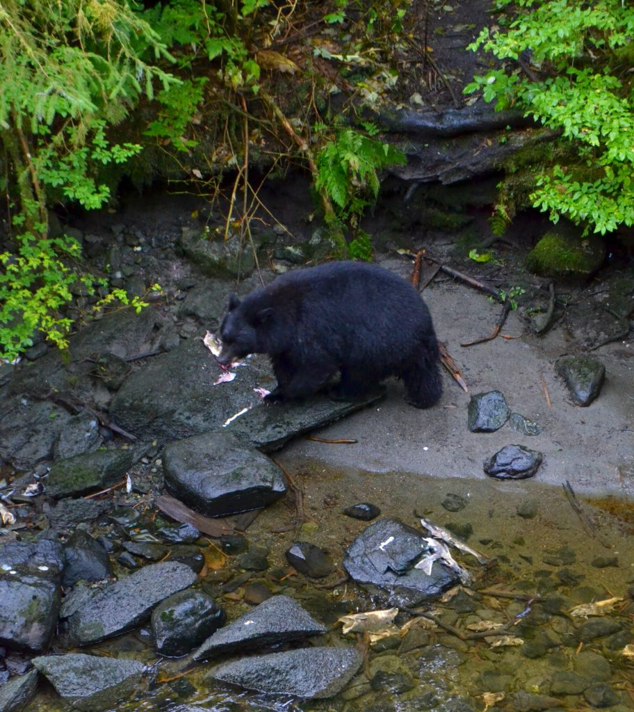Black bears at the Alaska Wildlife Sanctuary