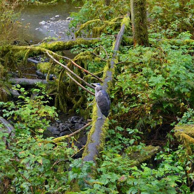 Blue Heron at Alaska Wildlife Sanctuary