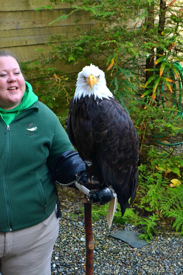 Sitka the Bald Eagle at the Alaska Wildlife Sanctuary