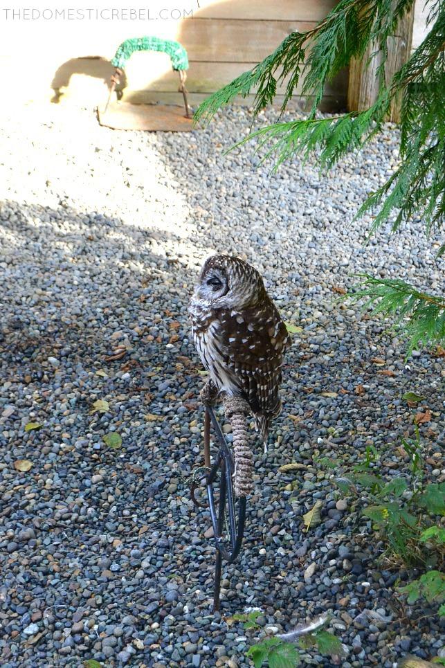 Barn owls at Alaska Wildlife Sanctuary