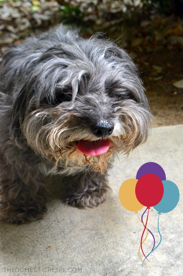 photo of a grey shaggy dog with balloons