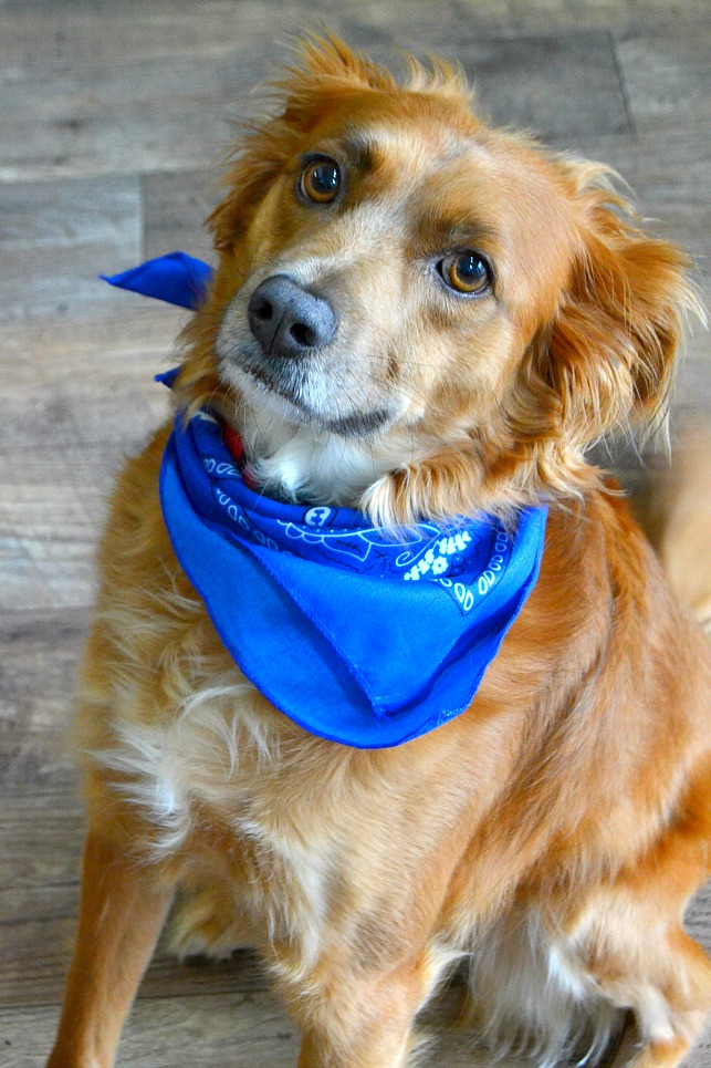 photo of a golden brown dog wearing a bandanna