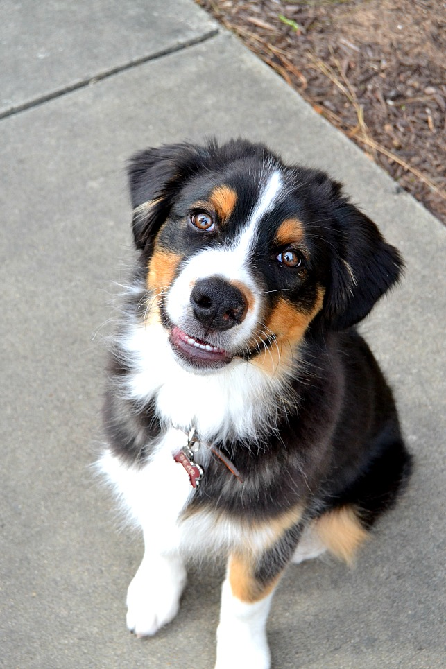 photo of an australian shepherd dog