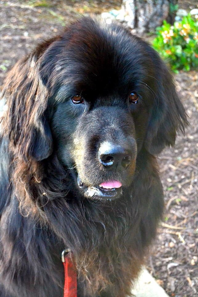 photo of a newfoundland dog