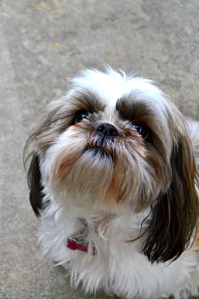 photo of shih tzu dog