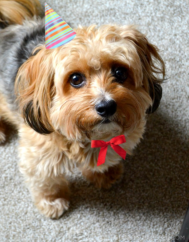 photo of a mixed breed terrier dog wearing a party hat and a bow